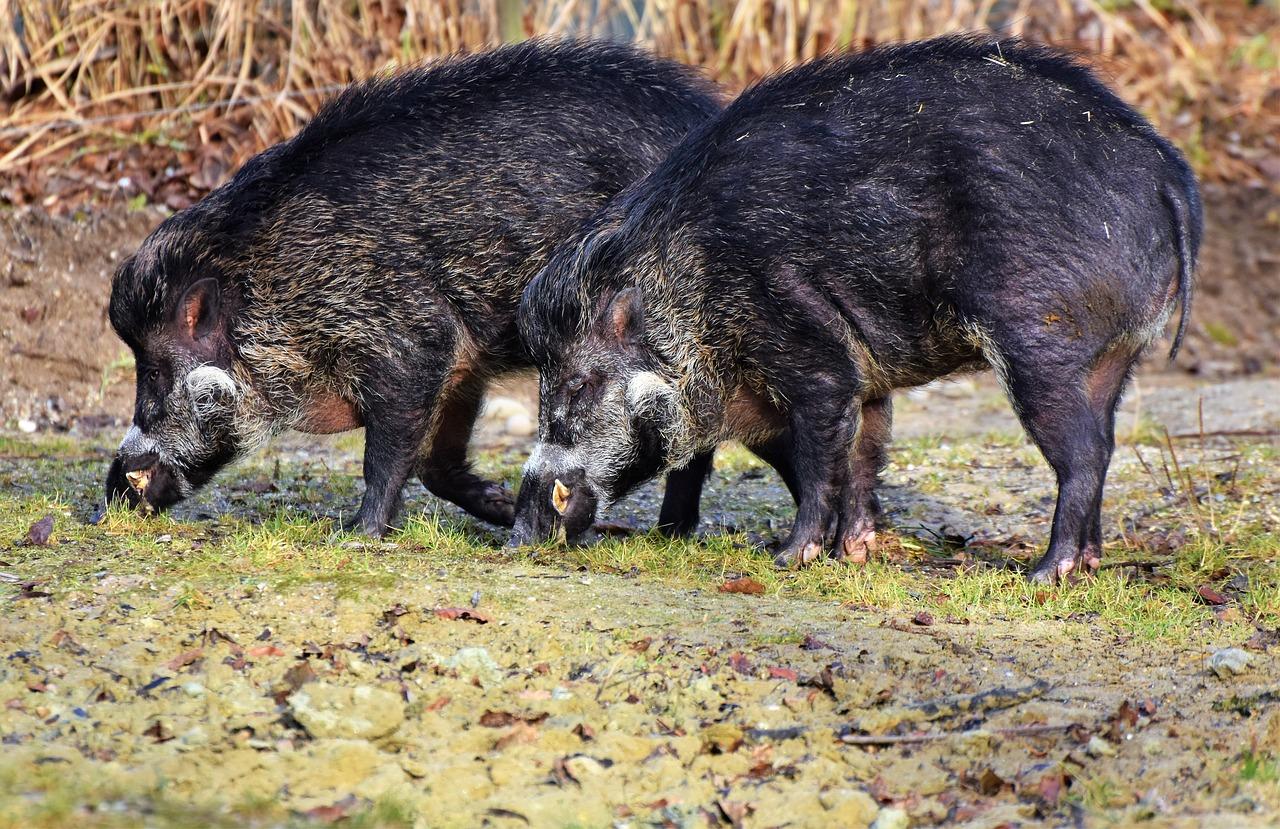 Information från årsmötet om vildsvinen